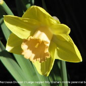 Narcissus Division 2 Large cupped Billy Graham