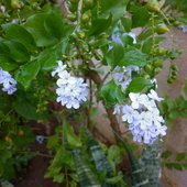 Flowers of duranta