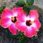 Rum runner hibiscus
