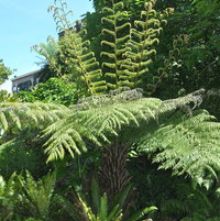 Cyathea delbata is a native of New Zeland.  It is the only fern to have silver on the underside of the adult fronds and frond stalks.
