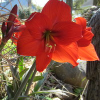 Amaryllis mini red