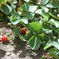 Fragaria x asanassa 'Tristar' still producing fruit in September.