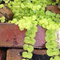 Creeping Jenny on pavers