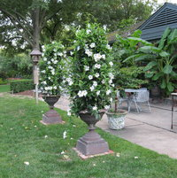 For summer the urns by the patio usually get something that grows on a trellis - in 2011 it was mandevilla