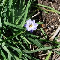 Spring Starflower.