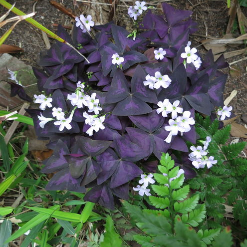 Oxalis purple shamrock