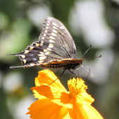 October 1, 2018 - Black Swallowtail [ I think ] - fast and very busy .. no time to pose ..
