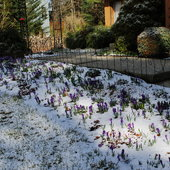 April 16, 2014 Light snow covering Crocus.