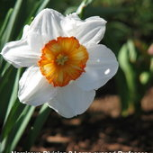 Narcissus Division 2 Large cupped Professor Einstein