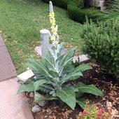 Artic Summer- Verbascum perennial