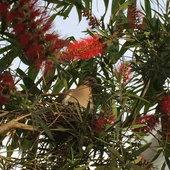 Spring resident, dove nesting in bottle brush tree.