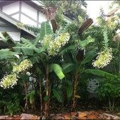Front of house, banana trees and Clerodendrum indicum (lots of names)