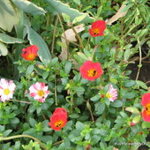 Portulaca or commonly called Sun Jewels