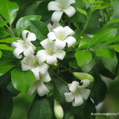Murraya paniculata or Mock Orange