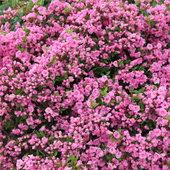 Beautiful pink Azalea in front yard.