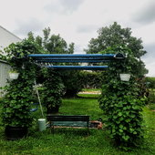 We made a pergola from old pipes. This year we grew purple pod peas, which completely covered the structure by the end of the season.