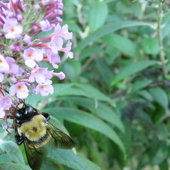 Carpenter Bee (m) on Buddleja ..
