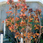 Cotinus desiccated and recovering in early fall