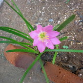 Zephyranthes rosea(Rain lily)