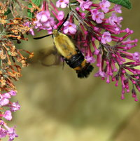 Clearwing Moth -- over at the neighbor's Buddleja ...