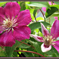 Clematis - growing near the mailbox