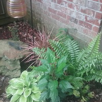 "This is a hosta, a hibiscus, a Dragon Plant, a Macho Fern, and a Barberry ""Orange Rocket"" growing behind the large rock."