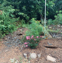 Crepe Myrtle and wildflowers on back slope July