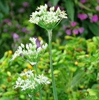 Galic Chives )Allium tunerosum) ..