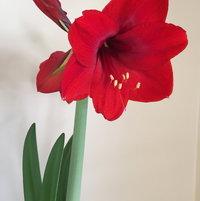 Amaryllis, so red, so pretty!