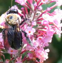 Carpenter Bee with pollen overload - Buddleja