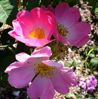 Gallica Rose 'Complicata' Introduced by Jules Gravereaux, France 190