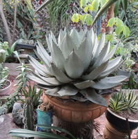 Agaves in back