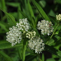 Asclepias incarnate 'Ice Ballet' is visited by many different insects through out the growing season growing in the front garden