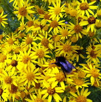 Bumble feasting on the Ragwort