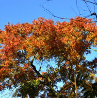 Turkey oak with fall coloring