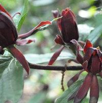 Carolina sweet shrub Calchanthus