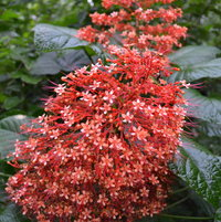 Pagoda Clerodendrum