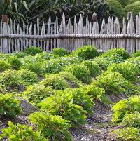 Rows of Kumera