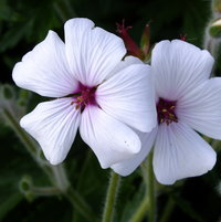Geranium maderense var. alba