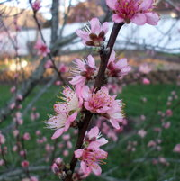 Peach tree in bloom