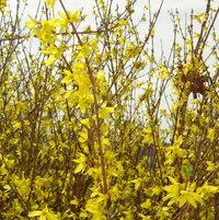 Forsythia branches reaching upward