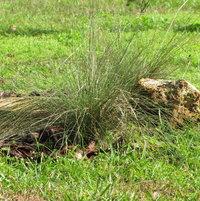 Muhly grass beside a limestone rock.