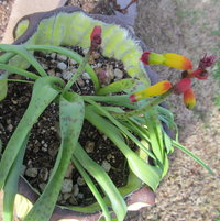 Lachenalia Aloides Quadricolor
