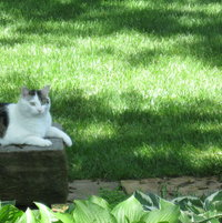 Jake - the sentry in my shade garden