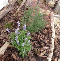 Baby blue Salvia next to a coral Agastache