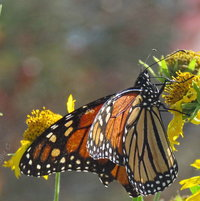 Monarch (f) - stopped to re-fuel on  False Sunflower .. a very warm October day -
