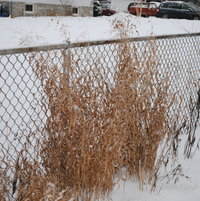Northern Sea-Oats along the neighbor's chain link fence looking good.