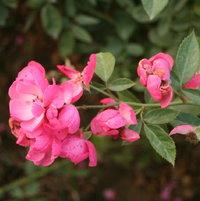 Chinese climbing rose