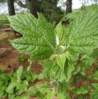 Snow Queen Oakleaf Hydrangea in leaf bud