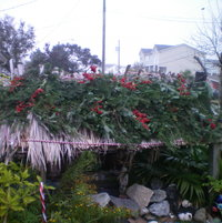 Tiki hut covering our pond, decorated for the Winter. Douglas fur branches with pyrochanthus berries for the birds.